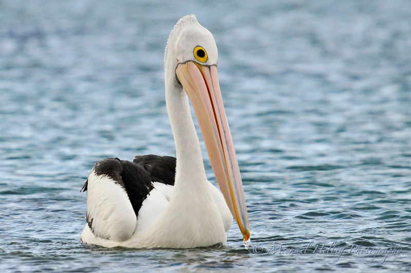 Pelican - Denmark, Australia