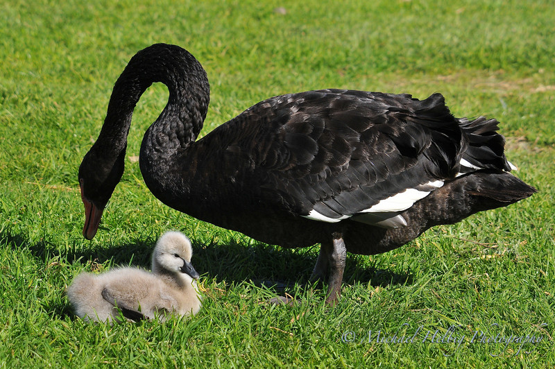 Black Swan & Cygnet - Perth