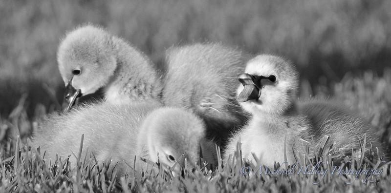 Black Swan Cygnets - Perth