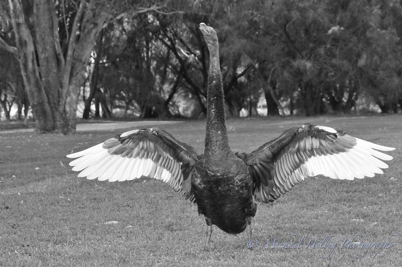 Black Swan Battle Cry - Perth