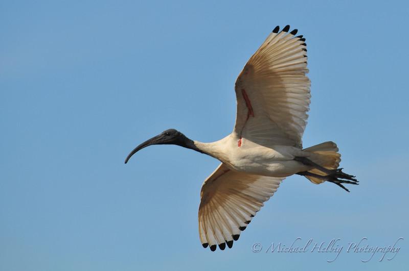 Australian White Ibis in flight - Perth