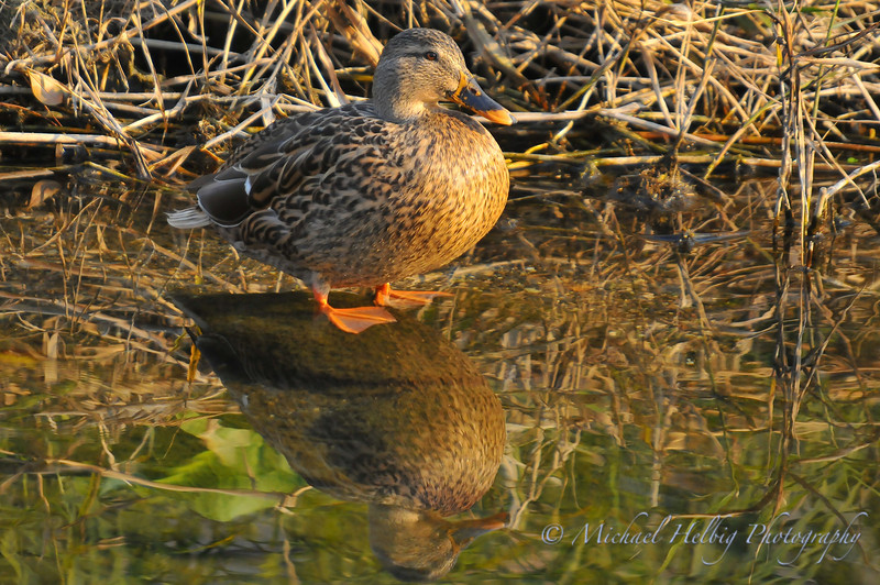 Duck Reflections