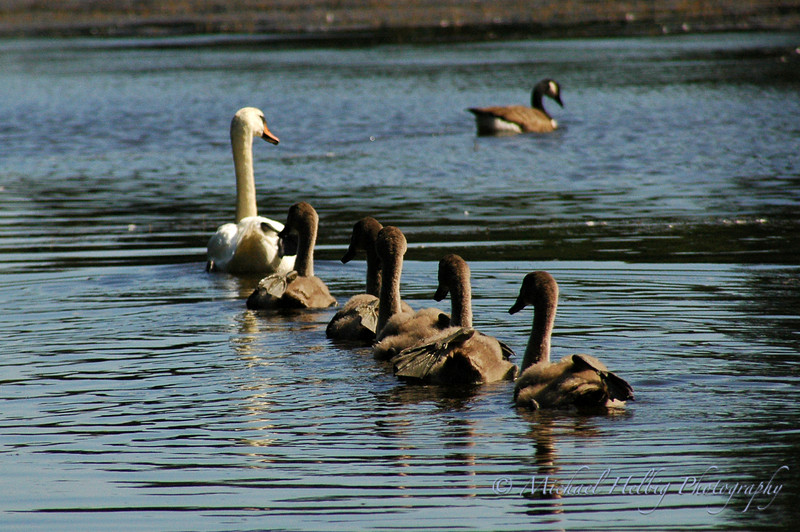 Mother and Cygnets - Stockholm