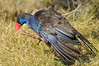Purple Swamphen - Perth