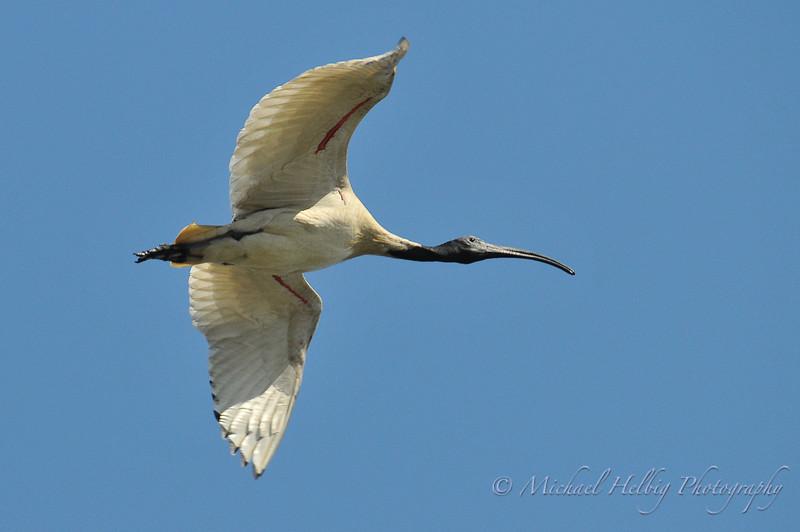 White Ibis - Perth