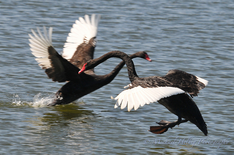 Black Swans - Perth