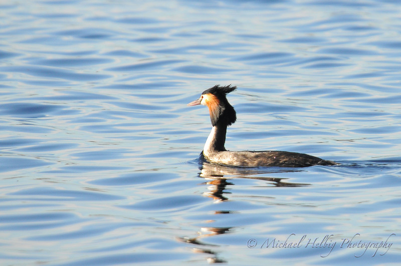 Great Crested Grebe - Perth