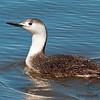 red throated loon (non breeding)