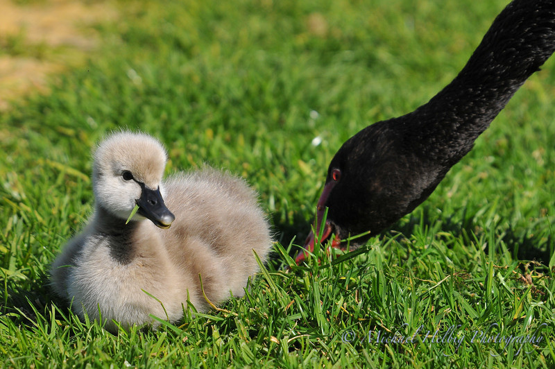 Black Swan & Cygnet - Perth