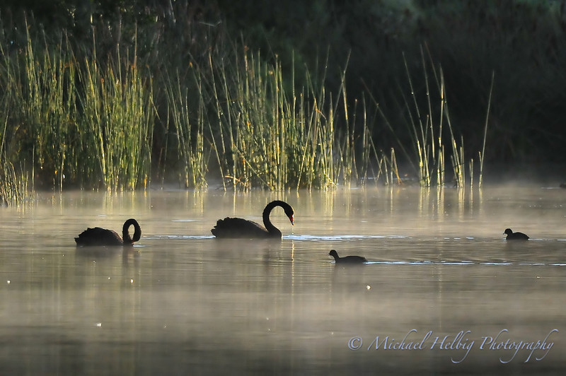 Black Swans in the mist - Perth