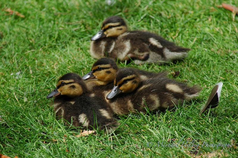 Ducklings - London