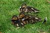 Ducklings - London
