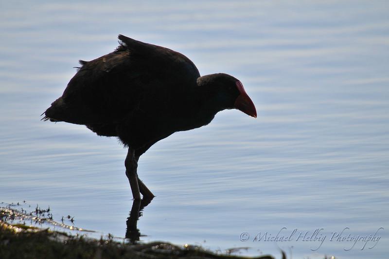 Silhouette, Purple Swamp Hen - Perth