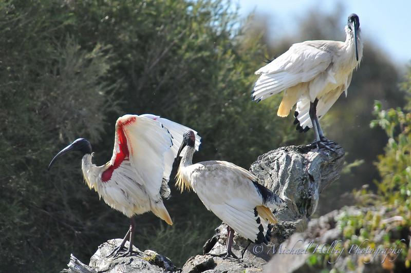 Australian White Ibises - Perth