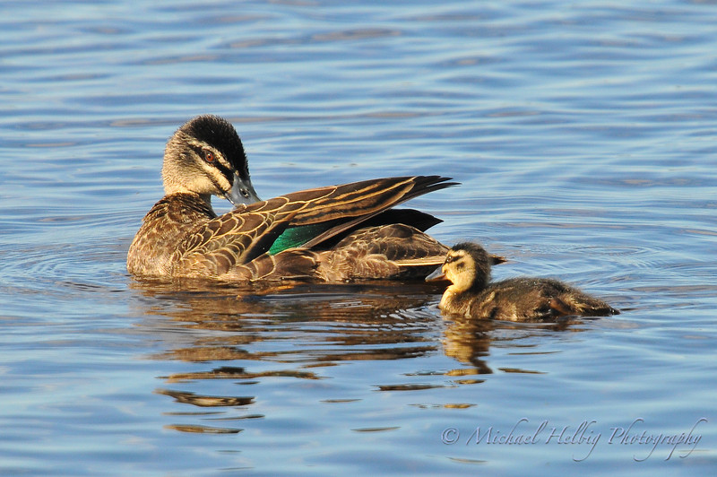 Duck & Duckling - Perth