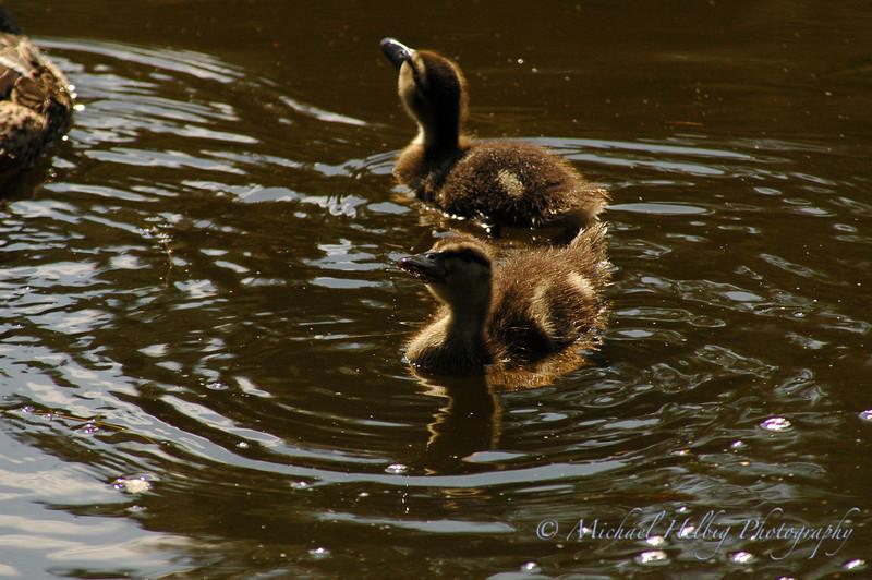 Ducklings - Stockholm
