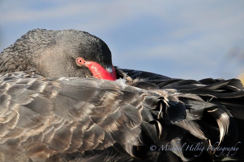 Black Swan - Perth