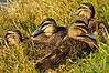 Garganey Ducklings- Perth