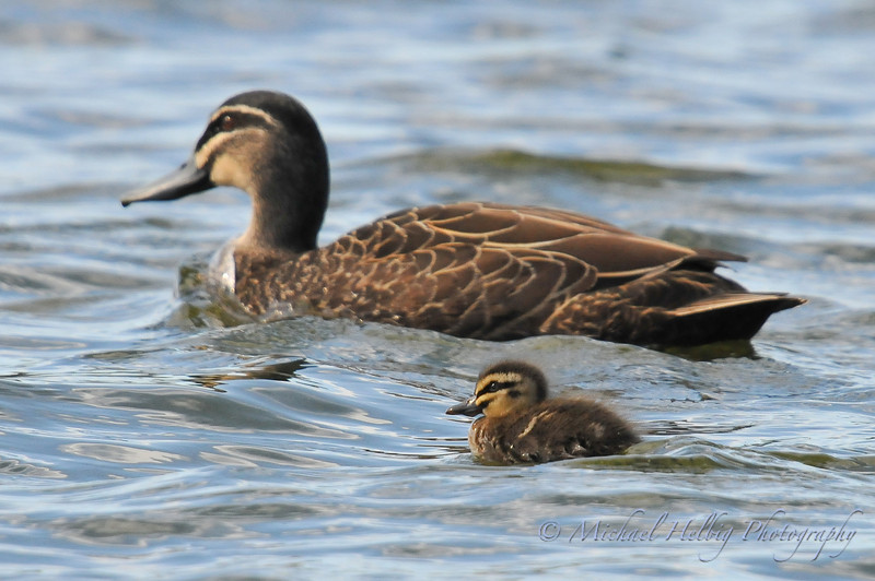 Duck & Duckling - Perth