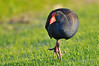Purple Moorhen - Perth