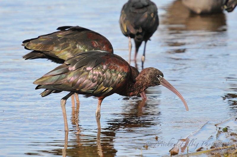 Glossy Ibis - Perth