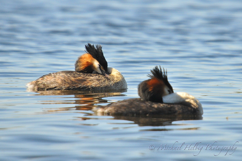 Great Crested Grebes - Perth