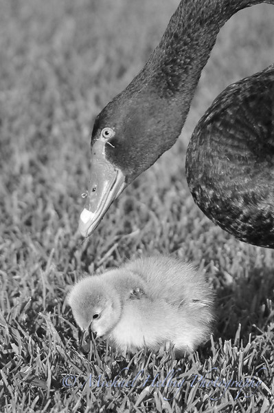 Black Swan and Cygnet - Perth