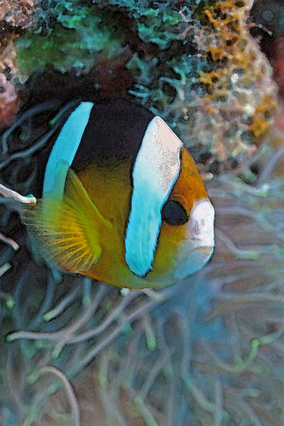 Clarks Aeneome clownfish, Okinawa - Available in 12x18 only, $220.  Only 4 more available.