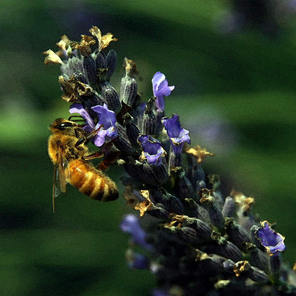 Honey Bee, Lavender fields, Whidbey Island.