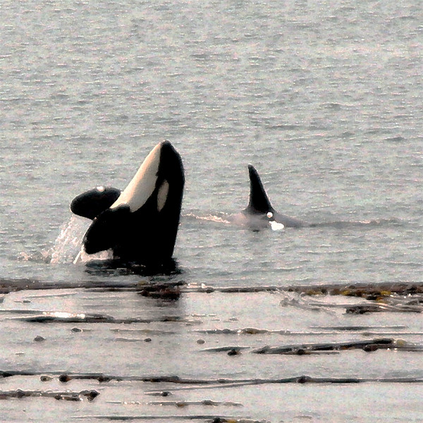 Orcas of Limekiln Point, San Juan Island, WA.