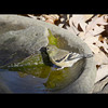 Goldfinch eating algae