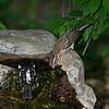 Rose-breasted Grosbeak  male and female