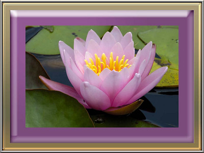 Water Lilies at the Farm
