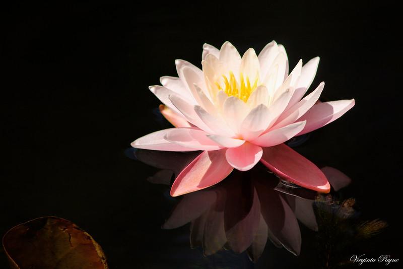 Pink water lily at the Eldridge Rd. pond.