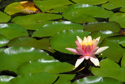 © Joseph Dougherty. All rights reserved.   Pink water lilies standing cheerfully above bright green lily pads.