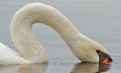 Swan Feeding