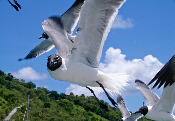 Seagulls in British Virgin Islands