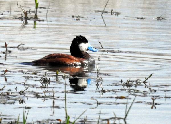 Ruddy Duck (Oxyura jamaicensis) - male breeding
