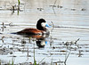 Ruddy Duck (Oxyura jamaicensis) - male breeding