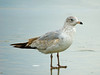Ring-billed Gull (Larus delawarensis), juvenile.