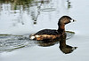Pied-billed Grebe Podilymbus podiceps - Breeding