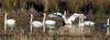 Tundra Swan - Cygnus columbianus