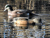 American Wigeon (Anas americana) - Male and Female