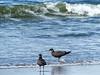 Herring Gull, juvenile (Larus argentatus)