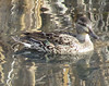 Green Winged Teal (Anas crecca) - female