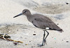 Eastern Willet (Tringa semipalmata) - male breeding colors