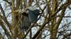 Great Blue Heron, subspecies (Ardea herodias fannini)