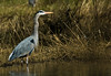 Great Blue Heron, subspecies (Ardea herodias fannini)