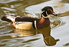Wood Duck or Carolina Duck (Aix sponsa) - male