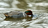 Green Winged Teal (Anas crecca) - male